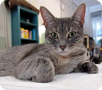 Domestic Shorthair Cat for adoption in Brooklyn, New York - Emma