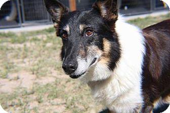 Collie Mix Dog for adoption in Colorado Springs, Colorado - Malakai