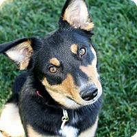 Australian Cattle Dog/Border Collie Mix Dog for adoption in Bellflower, California - Tabatha - 30 lbs!