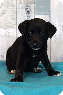 Labrador Retriever Mix Puppy for adoption in Waldorf, Maryland - Colada ADOPTION PENDING