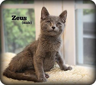 Domestic Shorthair Kitten for adoption in Glen Mills, Pennsylvania - Zeus