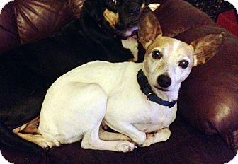 Rat Terrier Mix Dog for adoption in Hillsboro, Illinois - Emma- ADOPTION PENDING!