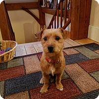 Adopt A Pet :: Lil Buddy - New Oxford, PA