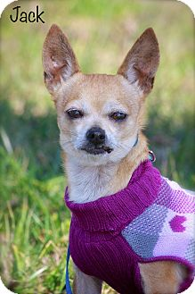 Chihuahua Mix Dog for adoption in Wilmington, Delaware - Jack
