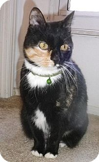 Domestic Shorthair Cat for adoption in St. Louis, Missouri - Tina