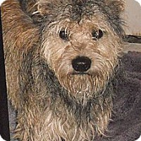 Adopt A Pet :: Schnauzer X - Aloha, OR