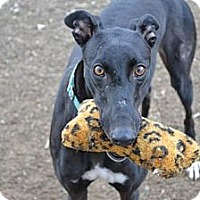Adopt A Pet :: Clara (Kebo Clara Bow) - Chagrin Falls, OH