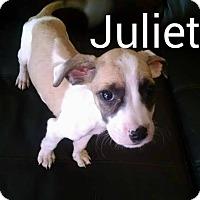 Adopt A Pet :: Juliette - Tampa, FL