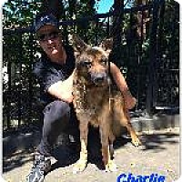 German Shepherd Dog Mix Dog for adoption in Pt. Richmond, California - CHARLIE the BRAVE