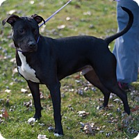American Staffordshire Terrier Mix Dog for adoption in New Martinsville, West Virginia - Paul