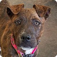 Adopt A Pet :: Francis - Norman, OK