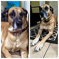 Adopt A Pet :: Moose - Mesa, AZ