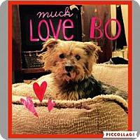 Adopt A Pet :: Bo - Ashland City, TN
