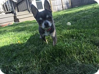 Chihuahua Dog for adoption in Rochester, New York - Harley