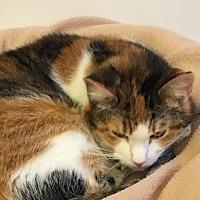 Domestic Shorthair Cat for adoption in Bourbonnais, Illinois - Audrey