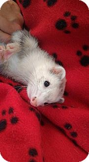 Ferret for adoption in Cleveland, Ohio - Stella