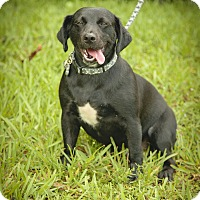 Labrador Retriever/Dachshund Mix Dog for adoption in Davie, Florida - Anthony