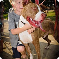 Pit Bull Terrier Mix Dog for adoption in Charlotte, North Carolina - Koda