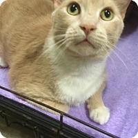 Domestic Shorthair Cat for adoption in Centerville, Georgia - Socks