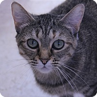 Adopt A Pet :: Tigress - O Fallon, IL