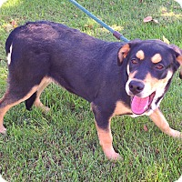 Rottweiler/Husky Mix Dog for adoption in Metamora, Indiana - Buster