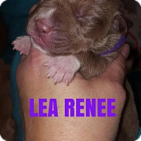 Pit Bull Terrier Puppy for adoption in New York, New York - Lea Renee
