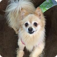 Adopt A Pet :: Lola - Studio City, CA