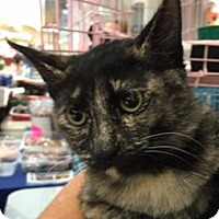 Domestic Shorthair Kitten for adoption in Spring Brook, New York - Tina