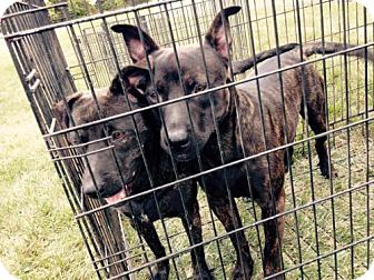 Pit Bull Terrier/Labrador Retriever Mix Dog for adoption in Portland, Indiana - Hansel & Gretel