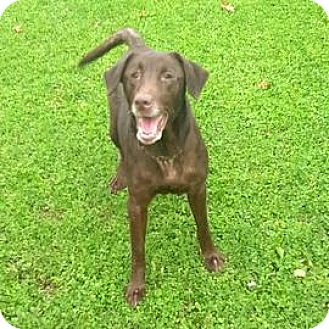 Labrador Retriever Mix Dog for adoption in Janesville, Wisconsin - Clarissa