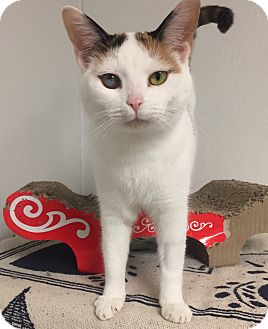 Calico Kitten for adoption in Hendersonville, North Carolina - Puppy