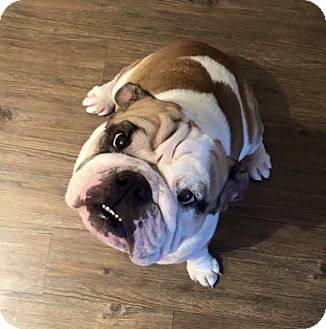 Bulldog Dog for adoption in Las Vegas, Nevada - Meaty
