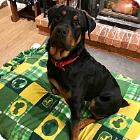 Rottweiler Puppy for adoption in Frederick, Pennsylvania - Titan