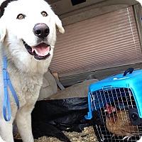 Adopt A Pet :: Apollo LGD - Kyle, TX