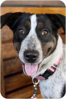 Australian Cattle Dog/Pointer Mix Dog for adoption in san diego, California - BESSIE