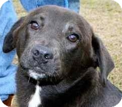 Labrador Retriever/Border Collie Mix Puppy for adoption in Gainesville, Florida - Cinderella