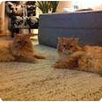 Adopt A Pet :: Apollo & Rocky - Brea, CA