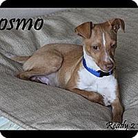 Adopt A Pet :: Cosmo - Rockwall, TX