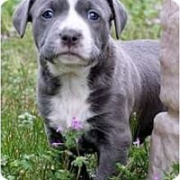 Adopt A Pet :: Baby Blue - Killen, AL
