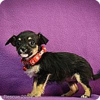Adopt A Pet :: Heidi - Broomfield, CO