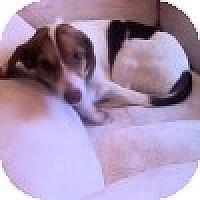 Adopt A Pet :: Caroline - Novi, MI