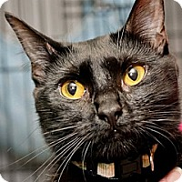Domestic Shorthair Cat for adoption in Havana, Florida - Peony