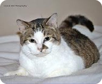 Domestic Shorthair Cat for adoption in Burlington, Ontario - Lucy