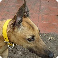 Adopt A Pet :: Bartsoncloudnine - Longwood, FL