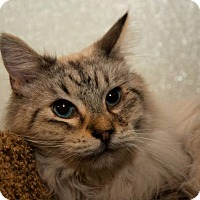 Siamese Cat for adoption in Tucson, Arizona - Hercules