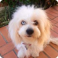 Adopt A Pet :: Cleo - Mission Viejo, CA