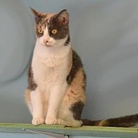 Domestic Shorthair Cat for adoption in Sebastian, Florida - Girlie