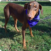 Doberman Pinscher Dog for adoption in McAllen, Texas - Tim