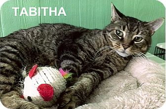 Domestic Shorthair Cat for adoption in Medway, Massachusetts - Tabitha