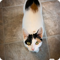 Domestic Shorthair Cat for adoption in Leander, Texas - Patch